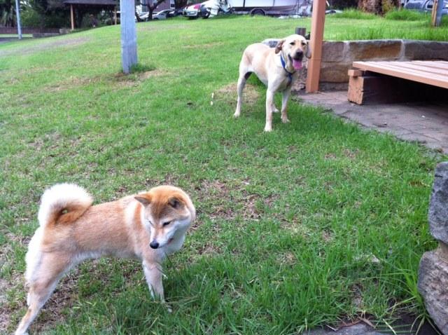 Chiko shiba inu dog and Jaime labrador cross