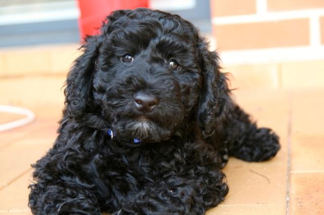 Jackson groodle golden doodle puppy
